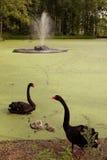 Cisnes negros Fotografía de archivo libre de regalías