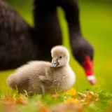 Cisnes negros Fotos de archivo libres de regalías