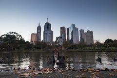 Cisnes negros con el horizonte de Melbourne Imágenes de archivo libres de regalías