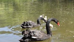 Cisnes negros con sus polluelos metrajes