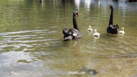 Cisnes negros con sus polluelos almacen de video