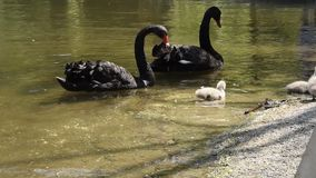 Cisnes negros con sus polluelos almacen de metraje de vídeo