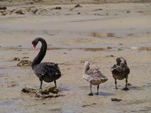 Cisnes negros (Cygnus Atratus) Fotos de archivo libres de regalías