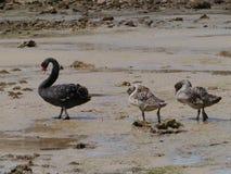 Cisnes negros (Cygnus Atratus) Imagen de archivo