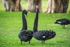 Cisnes negros de baile Fotografía de archivo