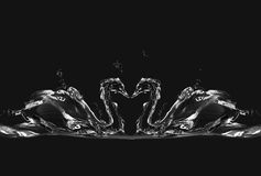 Cisnes negros del agua en amor Foto de archivo