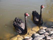 Cisnes negros en Belmontas (Vilna, Lituania) Imagenes de archivo