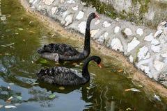 Cisnes negros en el lago Fotografía de archivo libre de regalías