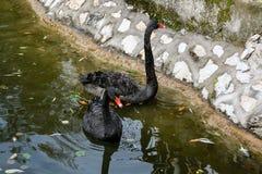 Cisnes negros en el lago Foto de archivo