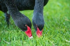 Cisnes negros que pastan Foto de archivo