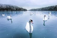 Cisnes, nieve, lago, invierno Fotografía de archivo