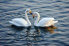 Cisnes no amor imagem de stock royalty free