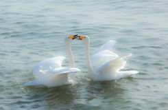 Cisnes no amor Fotos de Stock Royalty Free