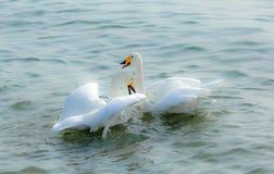 Cisnes no amor Fotografia de Stock