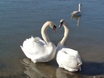 Cisnes no amor no rio foto de stock royalty free