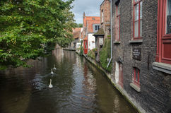 Cisnes no canal de Bruges Fotos de Stock