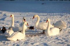 Cisnes no inverno Imagem de Stock Royalty Free