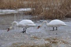 Cisnes no inverno, alimentando Imagem de Stock