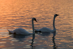 Cisnes no lago Foto de Stock Royalty Free