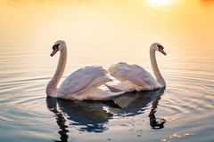 Cisnes no lago fotos de stock royalty free