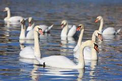 Cisnes no lago Imagem de Stock Royalty Free