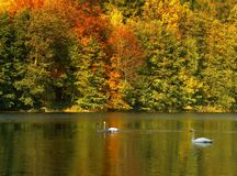 Cisnes no lago fotografia de stock royalty free