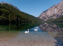 Cisnes no lago Fotos de Stock Royalty Free