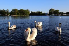 Cisnes no lago imagens de stock