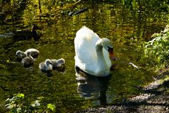 Cisnes no lago Cisnes com filhotes de passarinho imagens de stock royalty free