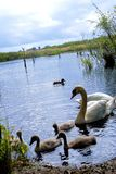 Cisnes no lago Cisnes com filhotes de passarinho fotografia de stock