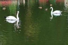 Cisnes no lago Cisnes com filhotes de passarinho Cisne com pintainhos Família da cisne muda Imagem de Stock Royalty Free