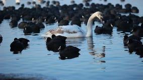 Cisnes no lago com fundo da água azul vídeos de arquivo