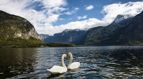 Cisnes no lago Hallstatt fotografia de stock royalty free