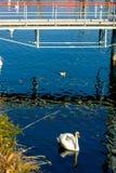Cisnes no lago Lago Maggiore fotografia de stock