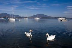 Cisnes no lago Maggiore imagens de stock