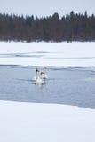 Cisnes no lago parcialmente congelado Foto de Stock