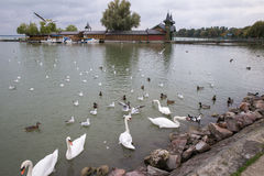 Cisnes no lago Pato no lago Gaivota no lago Cisnes brancas Cisnes que nadam no lago As gaivota de mar voam sobre o lago Fotografia de Stock