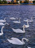 Cisnes no mar Fotos de Stock Royalty Free