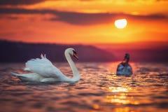Cisnes no mar e no por do sol bonito Fotos de Stock