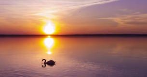 Cisnes no mar e no por do sol bonito foto de stock royalty free