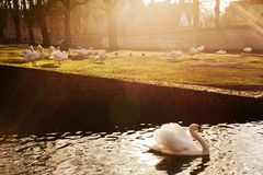Cisnes no parque Bruges Foto de Stock Royalty Free