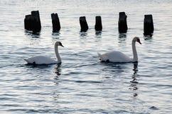Cisnes no por do sol Foto de Stock