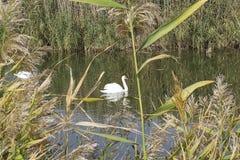 Cisnes no rio Foto de Stock