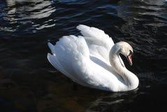 Cisnes no rio fotografia de stock