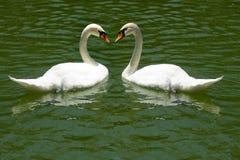 Cisnes no rio Fotografia de Stock Royalty Free