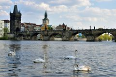 Cisnes no rio e no Charles Bridge de Vltava no fundo Fotos de Stock Royalty Free
