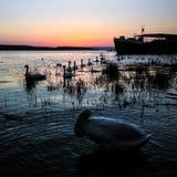 Cisnes no rio no nascer do sol fotografia de stock