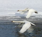 Cisnes no vôo Foto de Stock Royalty Free