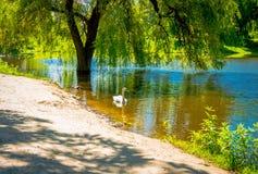 Cisnes novas bonitas no lago Imagem de Stock