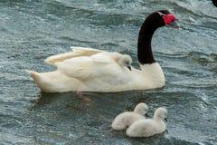 Cisnes novos fotos de stock royalty free